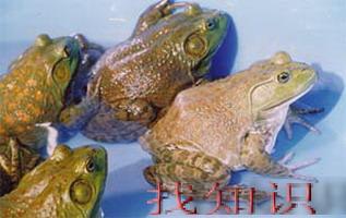 田鸡与青蛙是一回事吗?